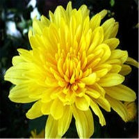 High quality Chrysanthemum Extract Synanthrin in bulk stock, worldwide fast delivery