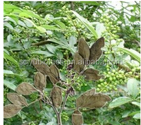 Natural Herbal Extract Buchu Leaf Extract