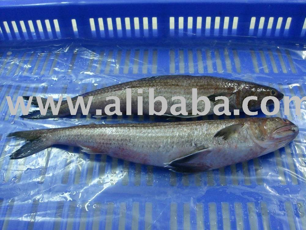 Lizard Fish Whole Round Semi IQF TOP QUALITY