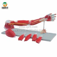 arms muscle anatomy structure model
