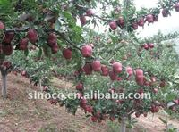 Chinese Red Delicious Apple