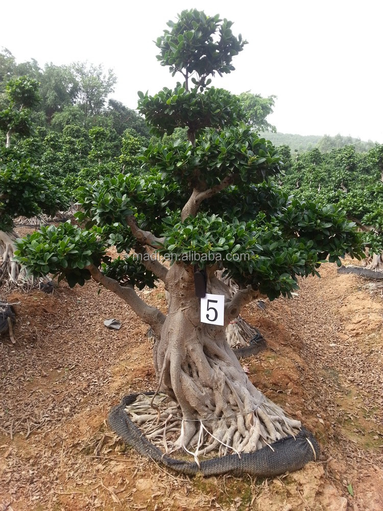 Woody plants big banyan tree for Garden decoration