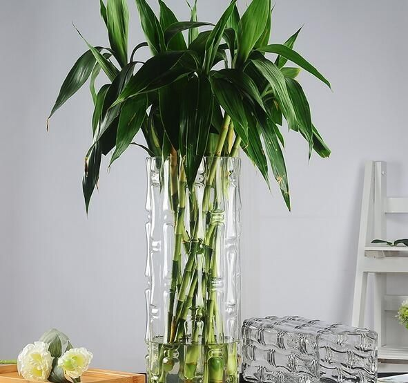 fu gui zu indoor Ornamental Plants Natural Lucky Spiral Bamboo Plant