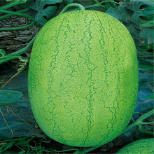 Big Pearl Chinese Oblong watermelon seeds for sale