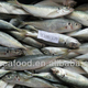 Fujian supplier china catching bonito fresh raw