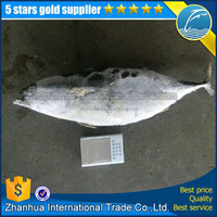 [ Frozen bonito tuna ] WR 300-500g new stock bonito tuna fish High quality For market Restaurant Freezer Ice Locker IQF seafood
