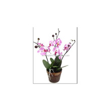 2017 professional custom design high quality butterfly orchids with pot for festival decoration
