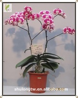 Red Harlequin Novelty Phalaenopsis Tissue Culture Seedlings Taiwan Orchid Nursery Live Orchid Flask