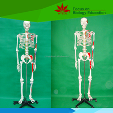 Colored muscle of half body Natural size male skeleton model