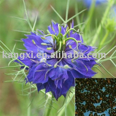 nigella sativa extrato de semente de leo extratos de ervas id do produto 411551852 portuguese. Black Bedroom Furniture Sets. Home Design Ideas