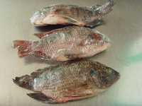 Quality Seafood Product Gutted Black and Red Frozen Tilapia