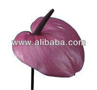 Anthurium cut flower and plant