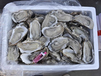 sell frozen sea shell fresh half shell oyster