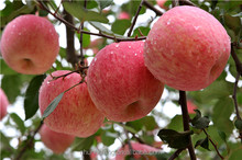 Natural Fuji Apple on the way from plantation to your home with our Regards