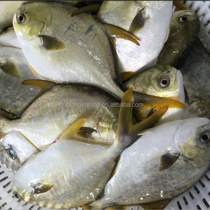 New Arrival Frozen Round Golden Pomfret/Pompano Fish Wholesale Food Prices