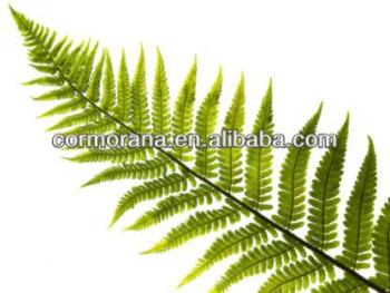 GMP Certificated Polypodium leucotomos extract,Polypodiaceae Extract