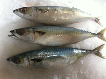 Frozen Whole Round Pacific Mackerel Fish for sale