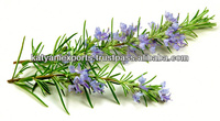 Rosemary Oil Promote Hair Growth