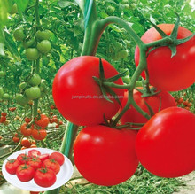 wholesale company supplying High yield hybrid tomato seeds