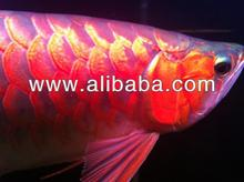 Healthy Super Red Arowanas And Other Types Of Arowanas For Sale At Reduce Cost