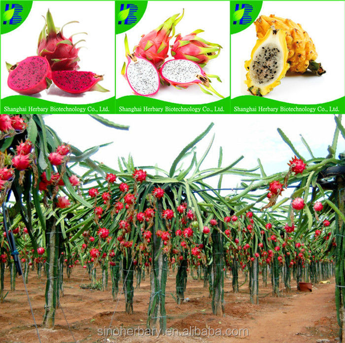High yield red dragon fruit seeds for plantig