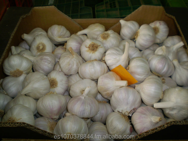 SPANISH PURPLE GARLIC