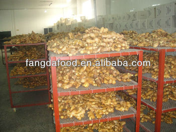 Shandong Fresh Ginger Size: 50g up--300g up.