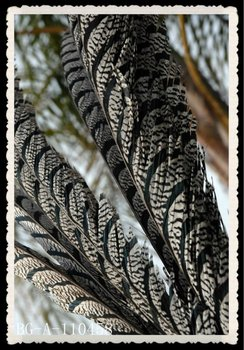 wholesale Lady Amherst Pheasant feather for sale