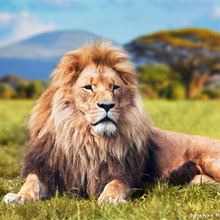 3d pictures of lion