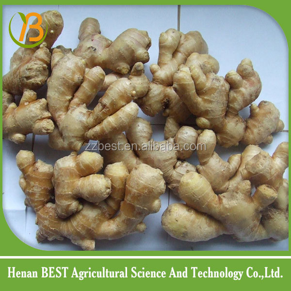 fresh ginger supplier in China high quality