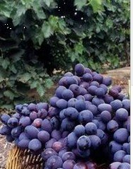 Table edible grape vines autumn royal buy grape vines for Table grapes zone 6
