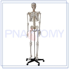 PNT-0101h hot sale & high quality separated human skeleton model with low price