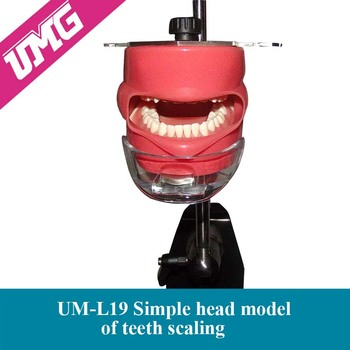 Alibaba wholesale dental teaching aids emulated head model