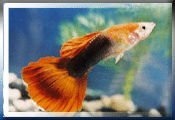 Guppy Male Blond Tuxedo Red