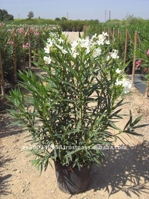 nerium oleander immergr ner strauch adelfa waldige. Black Bedroom Furniture Sets. Home Design Ideas