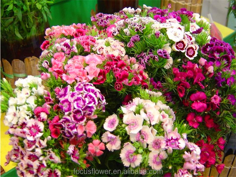 cut flower quality same as holland sweet william cut flowers from Yunnan