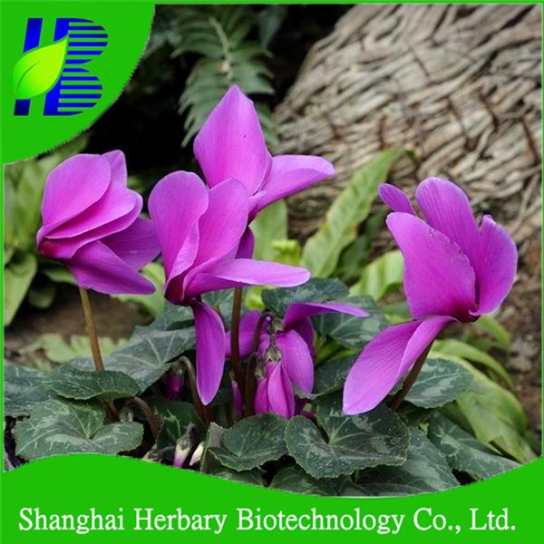 2017 Latest perennials flowers cyclamen seeds