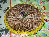 buying Organic non gmo Black Oil Sunflower Seeds in china