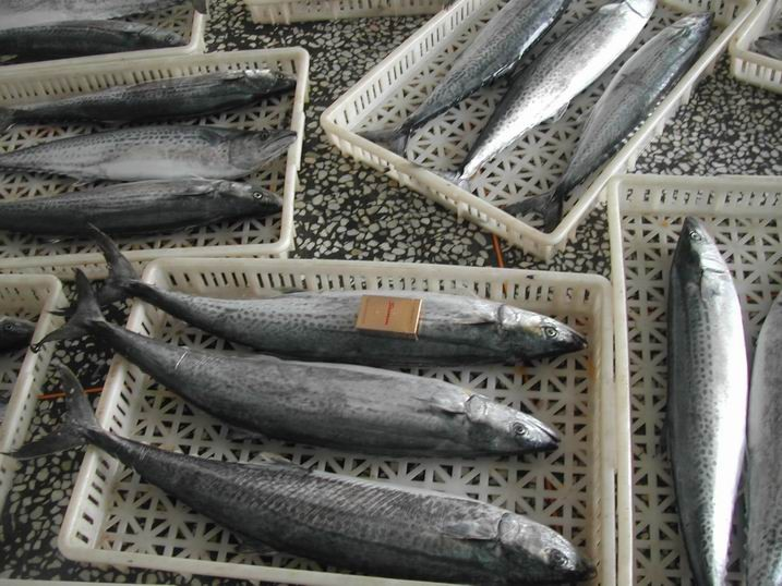 Deep frozen Spanish mackerel for sale