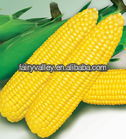 Planting Sweet Corn Seeds-High Yield Excellent Quality Fruit Type