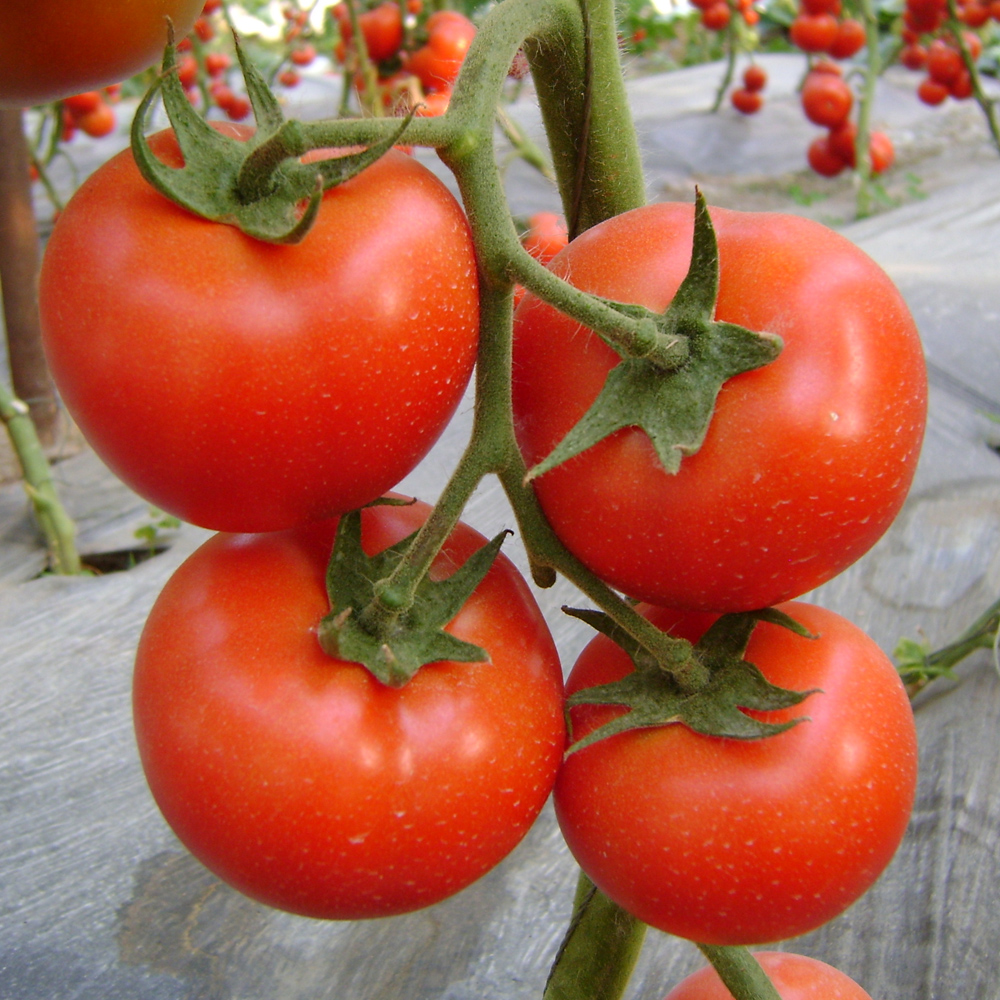 HT05 Dejar early maturity,red determinate f1 hybrid tomato seeds