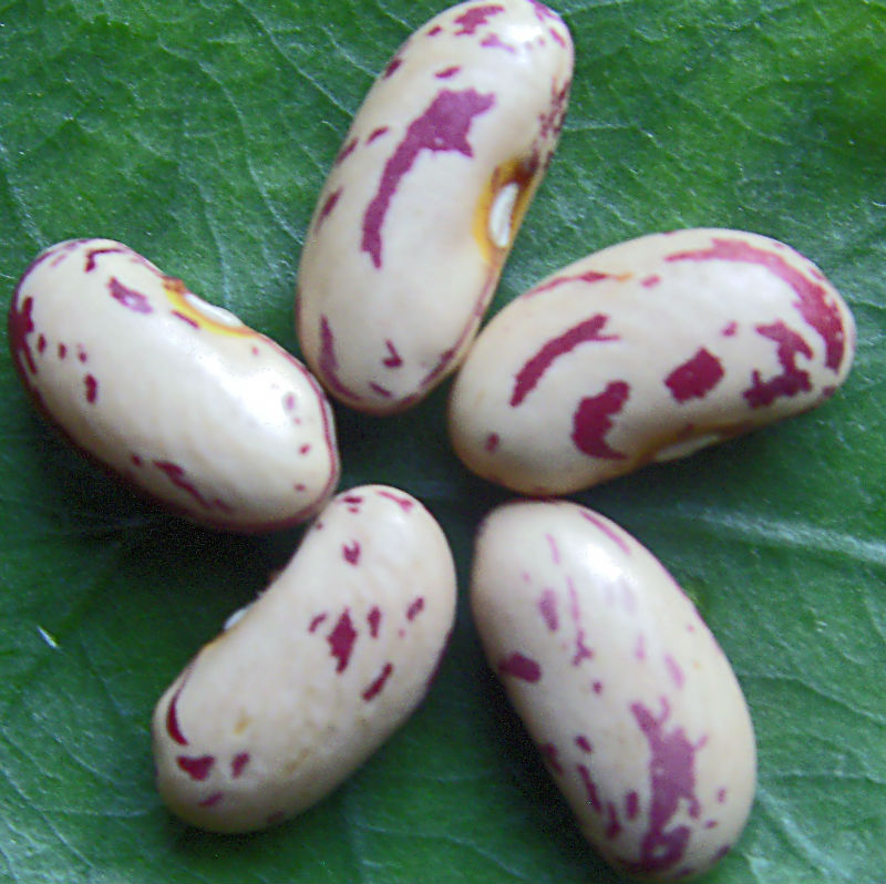 China Origin 2013 Crop HPS Kidney Beans CHITRA Rajma