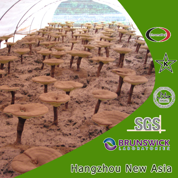 100% Natural Reishi Mushroom Extract Wood Log Cultivated Fruit Body Polysaccharides 10%-50% Triterpene 1%-8%