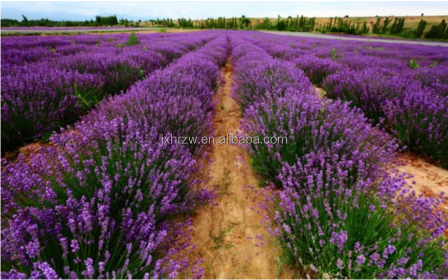 Lavender Ingredient and Pure Essential Oil Type Lavender Essential Oil