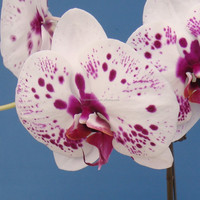 White and black spots flower butterfly orchid live phalaenopsis from China