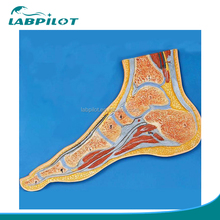 Advanced Foot Section Model, Anatomical Foot Joint Model