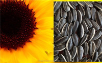 sunflower seeds polly seeds sunflower kernels for export
