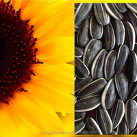 Sunflower Seeds Polly Seeds Sunflower Kernels
