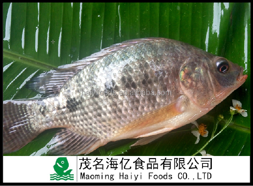 China Export Good Quality Whole Round FrozenTilapia fish 300-500g