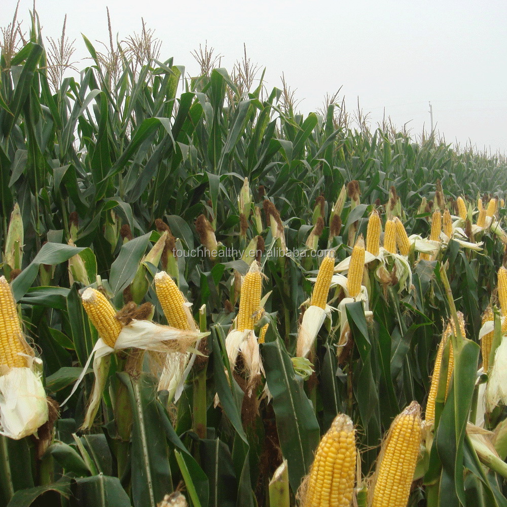 С чем сажают кукурузу 218